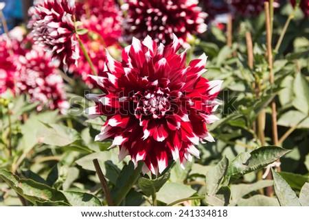 beautiful blooming red velvet petals dahlia - stock photo
