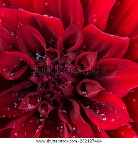 beautiful blooming red velvet petals dahlia macro of raindrops, closeup  - stock photo