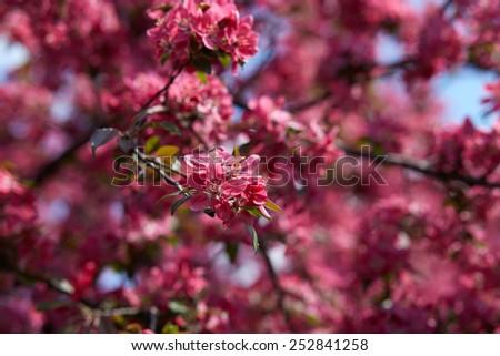 Beautiful blooming sakura - stock photo