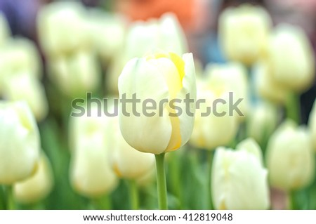 BEAUTIFUL BLOOMING WHITE TULIPS SHALLOW DEPTH OF FIELD, SELECTIVE FOCUS AND BLURRY BACKGROUND - stock photo