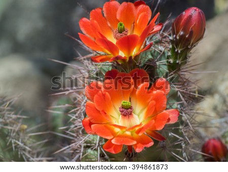 Beautiful blooming wild desert cactus flower