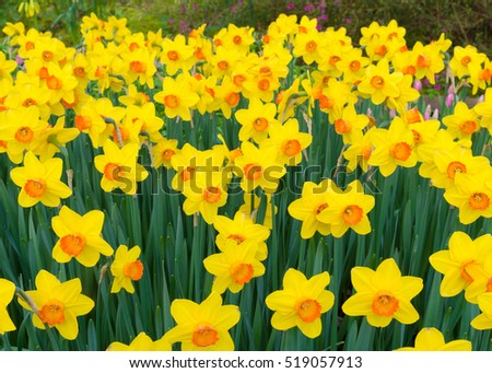 beautiful blooming yellow daffodils in a park