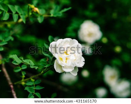 Beautiful blossom branch with flowers of white briar, dog-rose. Shallow DOF. Spring season concept - stock photo