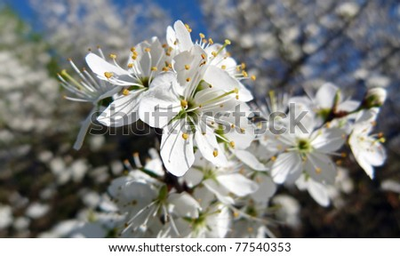 Beautiful blossom in springtime in the Netherlands against a blue sky - stock photo