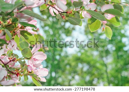 Beautiful blossom quince flower with space for text - stock photo