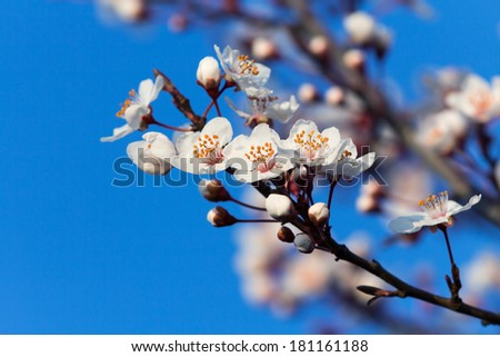 Beautiful blossom, spring 4