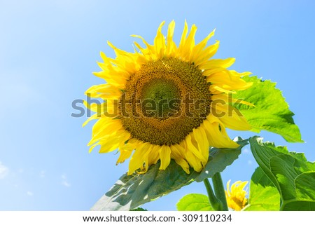 Beautiful blossoming sunflower blue sky background.