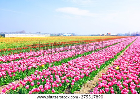 Beautiful blossoming tulip fields in the countryside from the Netherlands - stock photo