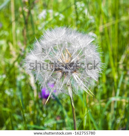 beautiful blowball flower at the meadow - stock photo