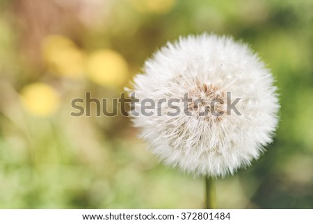 Beautiful blowball in spring against green bokeh background  Dandelion seed head outside in natural garden, image is blurry and filtered for softness effect - stock photo