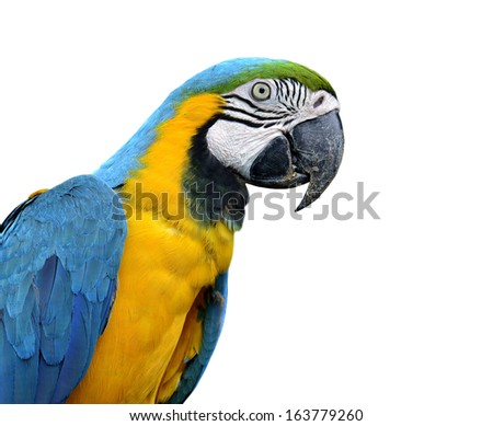 Beautiful Blue and Gold Macaw bird isolated on white background - stock photo