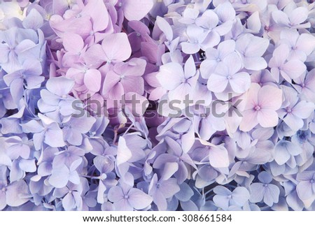 Beautiful blue and pink hydrangeas flower background. Natural color. - stock photo