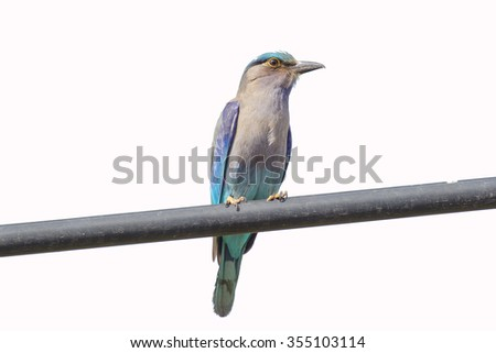 Beautiful blue bird : Indian roller in nature with white  background