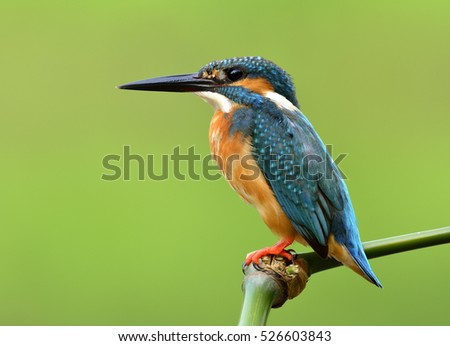 Beautiful blue bird with details of its feathers from head to tail, Common Kingfisher (Alcedo atthis) calmly perching green bamboo stick with very fine shape over blur green background