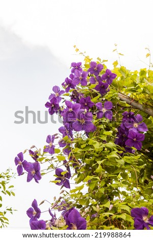 Beautiful, blue clematis flowers with vegetation  - stock photo