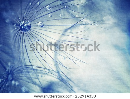 Beautiful blue dandelion background, macro photo of dry taraxacum flower with dew drops, beauty of nature detail, gentle floral wallpaper - stock photo