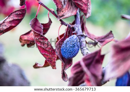 Beautiful blue dried plum on a wilted branch