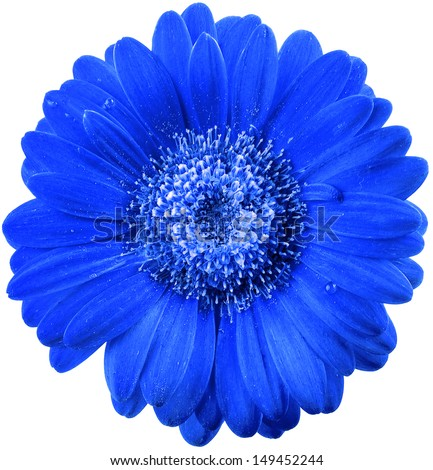 beautiful blue flower head with water drops surface close up  isolated on white background