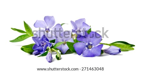 Beautiful blue flower periwinkle isolated on white background