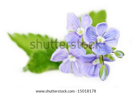 beautiful blue flowers (forget-me-not) isolated on white background - stock photo