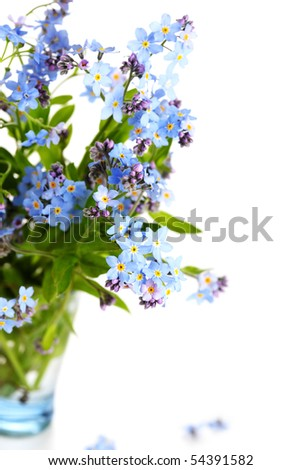 beautiful blue flowers (forget-me-nots) against white isolated background