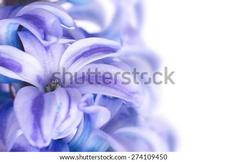 Beautiful blue flowers hyacinthes isolated on white. Spring macro background - stock photo