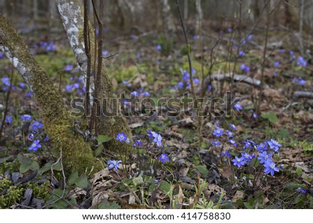 Beautiful blue flowers of common hepatica (Anemone hepatica) at spring day in European forest.   - stock photo