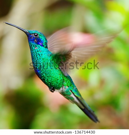 beautiful blue green hummingbird flying over a tropical orange flower kniphofia - stock photo