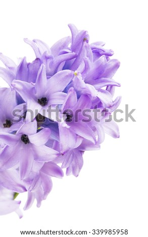 beautiful blue hyacinth close up, isolated on white background - stock photo