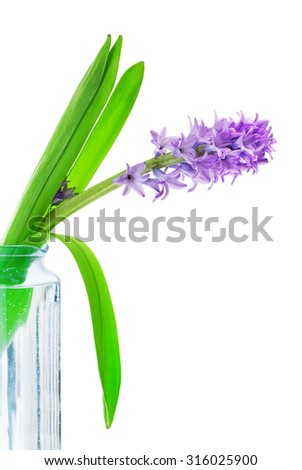 beautiful blue hyacinth flower in vase, isolated on white - stock photo