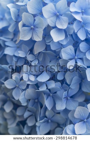 Beautiful blue hydrangea flowers in a garden
