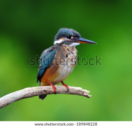 Beautiful blue Kingfisher bird, male Common Kingfisher (Alcedo atthis), sitting on a branch, back profile - stock photo