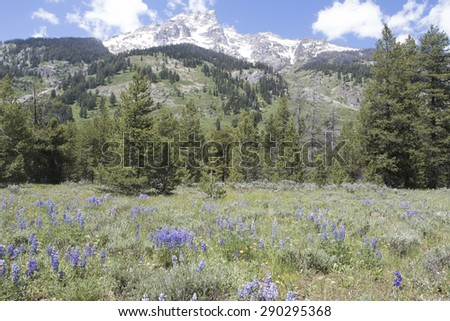 Beautiful Blue Lupin flowers in an alpine meadow near Grand Teton - stock photo