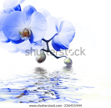 Beautiful blue orchid flower phalaenopsis reflected in water with copyspace - stock photo