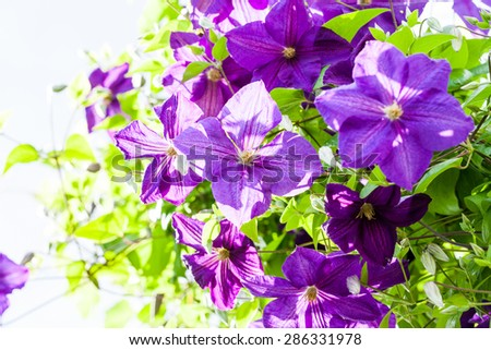 Beautiful, blue - purple clematis flowers, leaves and buds with vegetation - stock photo