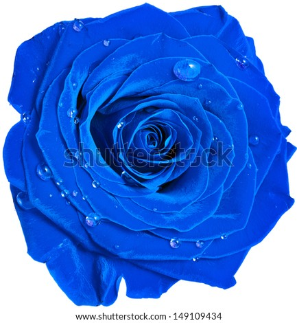 beautiful blue rose head with water drops close up  isolated on white background - stock photo