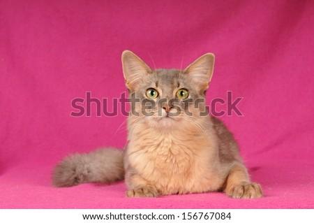 Beautiful blue somali cat portrait looking at camera - stock photo
