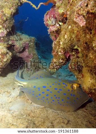Beautiful blue spotted ribbontail stingray - stock photo