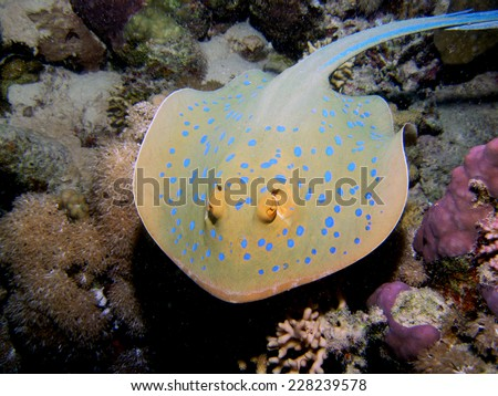 Beautiful blue spotted stingray in action - stock photo