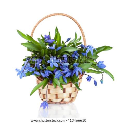 Beautiful blue spring flowers in vase (Asparagaceae, Scilla, Snowdrop) - stock photo