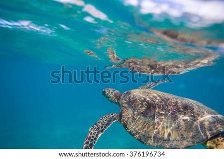 Beautiful Blue Underwater Postcard. Hawaiian Sea Turtle aka Holu Floating right under water surface taking a breath. A Surface with Reflections on it.  Loggerhead in wild nature habitat