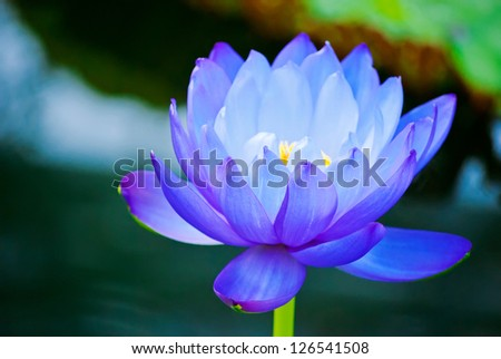 beautiful blue water lily in Kew Gardens London - stock photo