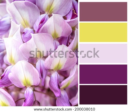 Beautiful blue wistaria  with complimentary swatches. - stock photo