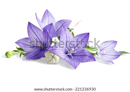 beautiful bluebells on white background - stock photo
