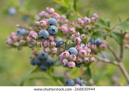 Beautiful blueberries of summer ready for picking - stock photo