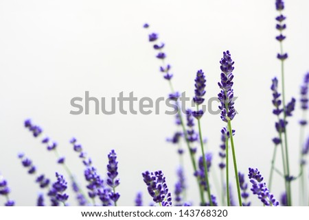 Beautiful blurred lavenders with white isolated background. - stock photo