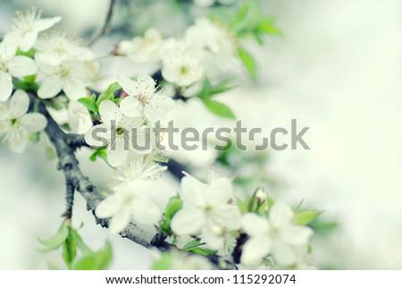 Beautiful blurred sakura flowers in the morning. cross processing - stock photo