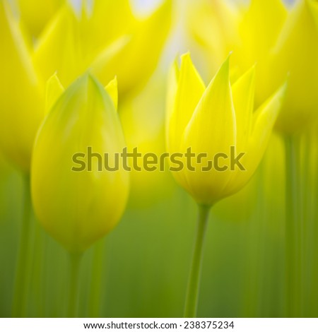 Beautiful blurry yellow colorful spring tulip flowers. Selective focus used. - stock photo