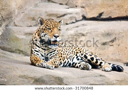 beautiful body of young leopard - stock photo