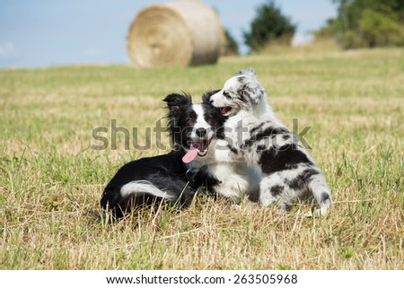 Beautiful Border Collie and puppy playing in the meadow - stock photo